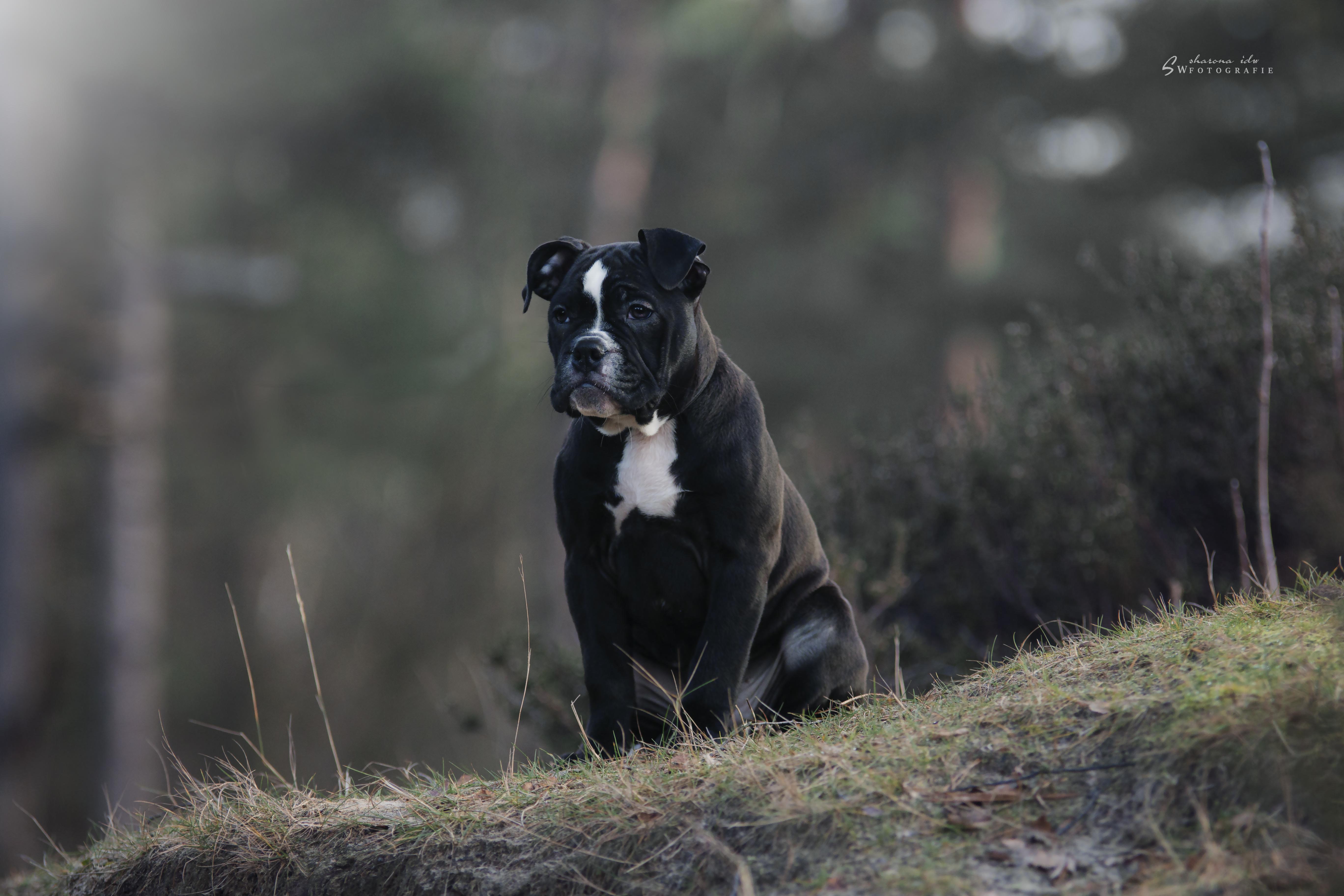 american staffordshire terrier gewicht